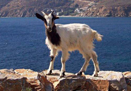 Greek goat, Amorgos