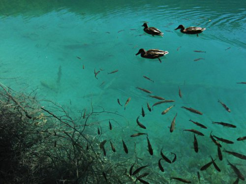 Fish Swimming at Plitvice Lakes