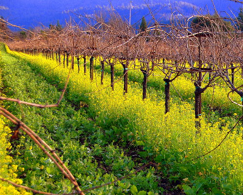 Napa Valley Vineyard and Mustard, California USA